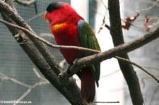 Erzlori (Lorius domicella) im Weltvogelpark Walsrode