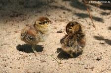 Junge Birkhühner (Lyrurus tetrix) im Weltvogelpark Walsrode