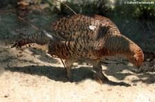 Birkhenne (Lyrurus tetrix) im Weltvogelpark Walsrode