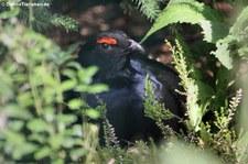 Birkhahn (Lyrurus tetrix) im Weltvogelpark Walsrode