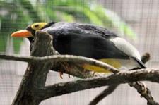 Papuaatzel (Mino dumontii) im Weltvogelpark Walsrode