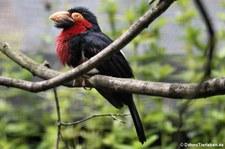 Furchenschnabel-Bartvogel (Pogonornis dubius) im Weltvogelpark Walsrode