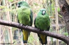 Mada-Spatelschwanzpapagei (Prioniturus mada) im Weltvogelpark Walsrode