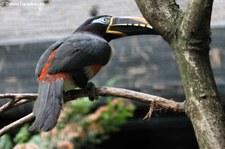 Braunohrarassari (Pteroglossus castanotis) Weltvogelpark Walsrode