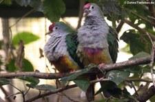 Rotkappen-Fruchttauben (Ptilinopus pulchellus) Weltvogelpark Walsrode