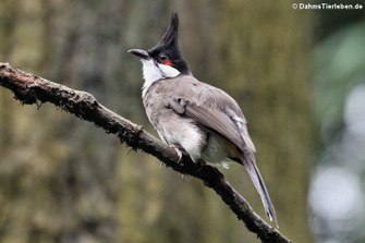 Rotohrbülbül (Pycnonotus jocosus)