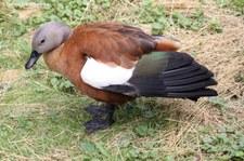 Graukopfkasarka (Tadorna cana) im Weltvogelpark Walsrode