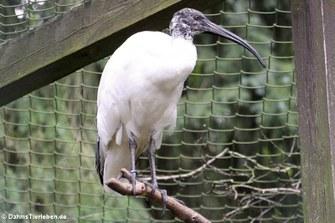 Hellaugenibis (Threskiornis bernieri)