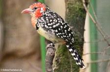 Flammenkopf-Bartvogel (Trachyphonus erythrocephalus) im Weltvogelpark Walsrode