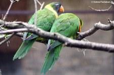 Timor-Allfarbloris (Trichoglossus capistratus capistratus) im Weltvogelpark Walsrode