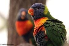 Regenbogenlori (Trichoglossus moluccanus) im Weltvogelpark Walsrode