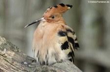 Wiedehopf (Upupa epops) im Weltvogelpark Walsrode