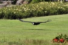 Andenkondor (Vultur gryphus) im Weltvogelpark Walsrode