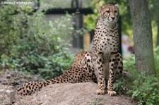 Gepard (Acinonyx jubatus jubatus) im Tiergarten Schönbrunn, Wien