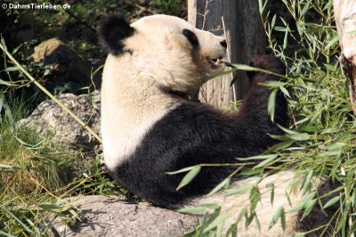 Großer Panda (Ailuropoda melanoleuca)