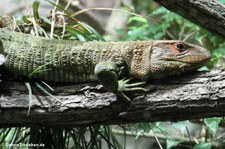 Krokodilteju (Dracaena guianensis) im Tiergarten Schönbrunn, Wien