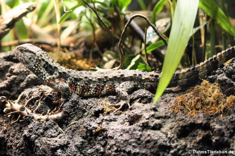 Shinisaurus crocodilurus