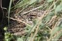 Vipera ursinii rakosiensis