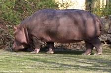 Flusspferd (Hippopotamus amphibius) im Tiergarten Schönbrunn, Wien