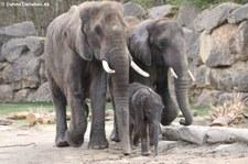 Afrikanische Elefanten (Loxodonta africana) im Tiergarten Schönbrunn, Wien