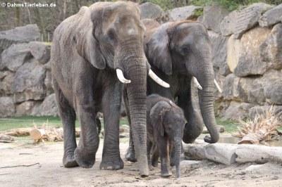 Afrikanische Elefanten (Loxodonta africana)