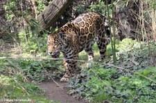 Jaguar (Panthera onca) im Tiergarten Schönbrunn, Wien