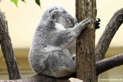 Nördlicher Koala (Phascolarctos cinereus cinereus)