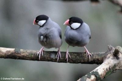 Reisfinken (Lonchura oryzivora)