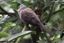 Streptopelia chinensis