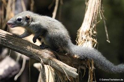 Nördliches Spitzhörnchen (Tupaia belangeri)