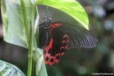 Scharlachroter Schwalbenschwanz (Papilio rumanzovia) im Schmetterlinghaus Wien