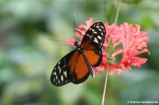 Tiger-Passionsblumenfalter (Heliconius hecale) im Schmetterlinghaus Wien