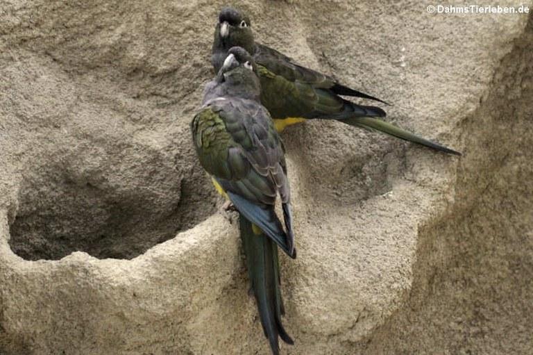 Cyanoliseus patagonus