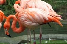 Rote Flamingos (Phoenicopterus ruber ruber) im Tiergarten Schönbrunn, Wien
