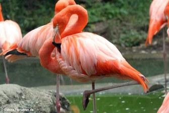 Roter Flamingo (Phoenicopterus ruber ruber)