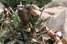 Braunflügel-Mausvögel (Colius striatus) im Wüstenhaus Schönbrunn, Wien
