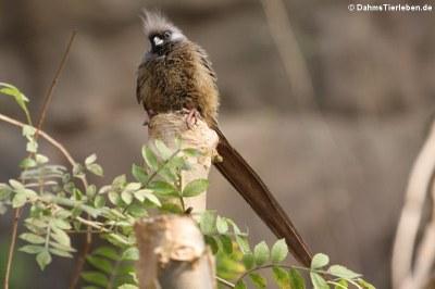 Braunflügel-Mausvogel (Colius striatus)