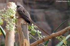 Braunflügel-Mausvogel (Colius striatus) im Wüstenhaus Schönbrunn, Wien