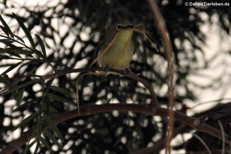 Zosterops palpebrosa (Ganges-Brillenvogel)