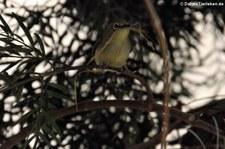 Ganges-Brillenvogel (Zosterops palpebrosus) im Wüstenzoo Schönbrunn, Wien