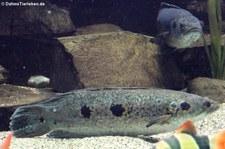 Augenfleck-Schlangenkopffisch (Channa pleurophthalma) im Zoo Wuppertal