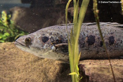 Augenfleck-Schlangenkopffisch (Channa pleurophthalma)