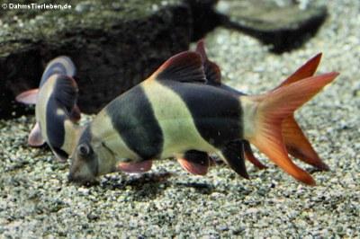 Prachtschmerle (Chromobotia macracanthus)