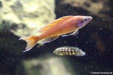 Kärpflingsbuntbarsch (Paracyprichromis nigripinnis) im Zoo Wuppertal