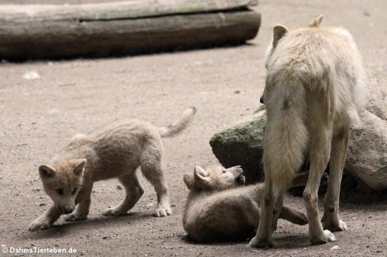 Canis lupus hudsonicus