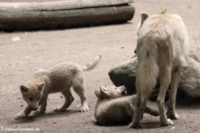Hudson-Bay-Wölfe oder Kanadische Wölfe (Canis lupus hudsonicus)