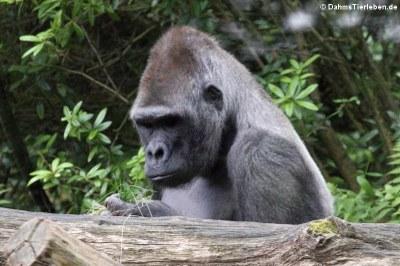 Westlicher Flachlandgorilla (Gorilla gorilla gorilla)