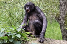 Bonobos (Pan paniscus) im Zoo Wuppertal