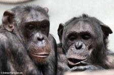 Schimpansen (Pan troglodytes) im Zoo Wuppertal