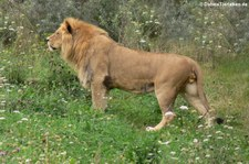 Löwe (Panthera leo) im Zoo Wuppertal